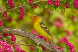 Oregon  Malheur National Wildlife Refuge Western Tanager on Limb