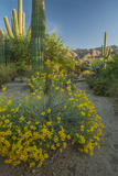 USA  Arizona  Coronado NF Scenic of Saguaros and Paper Flowers