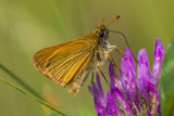 European Skipper on Clover at Phillips Farm  Marshfield  Massachusetts