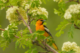 Oregon  Malheur National Wildlife Refuge Bullock's Oriole on Limb