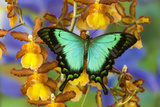 Sea Green Swallowtail Butterfly  Papilio