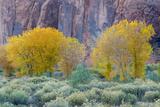 Rabbitbrush Outside of Moab  Utah