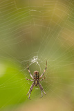 Common Orb Weaver (Neoscona) on Web  Los Angeles  California
