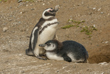 Chile  Patagonia  Isla Magdalena Magellanic Penguin and Chick at Nest