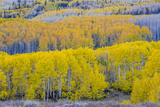 Fall Aspen Trees Near Guardsman's Pass Near Park City  Utah