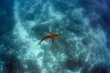 Galapagos Shark  Galapagos Islands  Ecuador