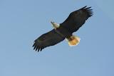 Bald Eagle Flying  Soaring