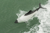 Chile  Patagonia  Straits of Magellan Commerson's Dolphin Breaching