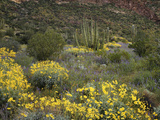 Arizona  Organ Pipe Cactus NM  Wildflowers in the Ajo Mountains