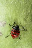 Fungus Beetle (Erotylidae)  Yasuni NP  Amazon Rainforest  Ecuador
