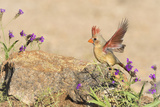 USA  Arizona  Amado Female Cardinal with Wings Spread