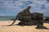 Marine Iguana (Amblyrhynchus Cristatus)  Galapagos Islands  Ecuador