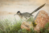 USA  Arizona  Santa Rita Mountains a Greater Roadrunner on Rock