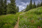 Wildflowers in the Albion Basin  Uinta Wasatch Cache Mountains  Utah