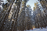Cross-Country Skiers in a Spruce Forest  Windsor  Massachusetts