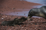 Galapagos Sea Lion Mom and New Pup  Rabida Island  Galapagos  Ecuador