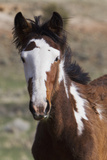 Wild Horses Young Colt  Steens Mountains  Oregon