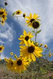 Sunflowers Holladay  Utah
