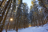 Cross-Country Ski Trail in a Spruce Forest  Windsor  Massachusetts