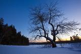 An Apple Tree at Sunset  Notchview Reservation  Windsor  Massachusetts