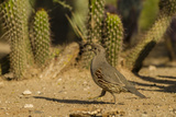 USA  Arizona  Sonoran Desert Gambel's Quail and Cactus