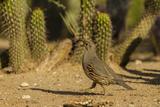 USA  Arizona  Sonoran Desert Gambel's Quail and Cactus