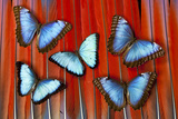 Five Blue Morpho Butterflies on Macau Tail Feather Design