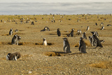 Chile  Patagonia  Isla Magdalena Field of Magellanic Penguins