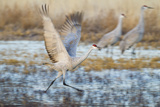 Sandhill Crane (Grus Canadensis) Taking Off from Roost