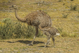 Chile  Patagonia  Torres del Paine NP Lesser Rhea Adult and Chick