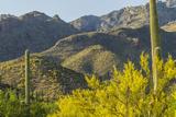 Arizona  Coronado NF Saguaro Cactus and Blooming Palo Verde Trees