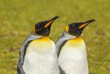 Falkland Islands  East Falkland Pair of King Penguins