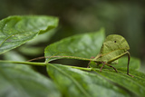 Small-Leaf Katydid  Yasuni NP  Amazon Rainforest  Ecuador