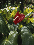 Hawaii Islands  Honolulu  1100 Alakea St  Anthurium Leaf  Close-up