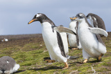 Falkland Islands Gentoo Penguin Chicks Only Fed after a Wild Pursuit