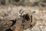 USA  Arizona  Buckeye Two Harris's Antelope Squirrels on Log