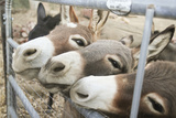 Miniature Donkeys on a Ranch in Northern California  USA