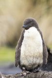 Rockhopper Penguin Chick Falkland Islands