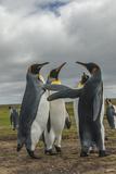 Falkland Islands  East Falkland King Penguins in Dominance Display