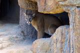 Mountain Lion Captive  Arizona  Sonoran Desert Museum
