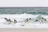 Rockhopper Penguin Landing as a Group to Give Individuals Safety