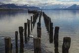 Coscoroba Swan and Dock Puerto Natales  Patagonia  Magellanic  Chile