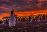 Falkland Islands  Sea Lion Island Gentoo Penguin Colony at Sunset