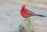 USA  Arizona  Amado Male Northern Cardinal Perched on Rock