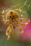 USA  Colorado  Jefferson County Orb-Weaver Spider Close-up