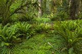 USA  California  Redwoods NP Ferns and Mossy Trees in Forest