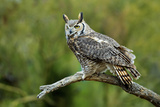 Great Horned Owl  also known as the Tiger Owl