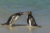 Falkland Islands  Bleaker Island Gentoo Penguins Arguing