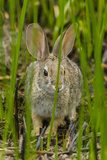 USA  Arizona  Sonoran Desert Desert Cottontail Rabbit in Grass