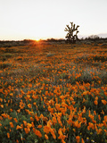 California  Antelope Valley  Sunrise Behind a Joshua Tree and Flowers